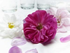 kwiat piwonii