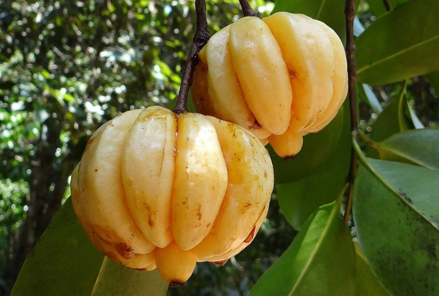 dojrzały owoc garcinia cambogia na drzewie