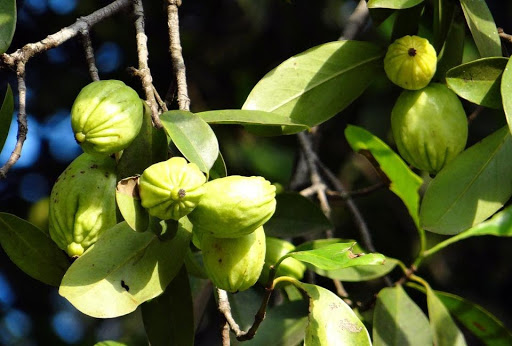 zielone owoce Garcinia Cambogia