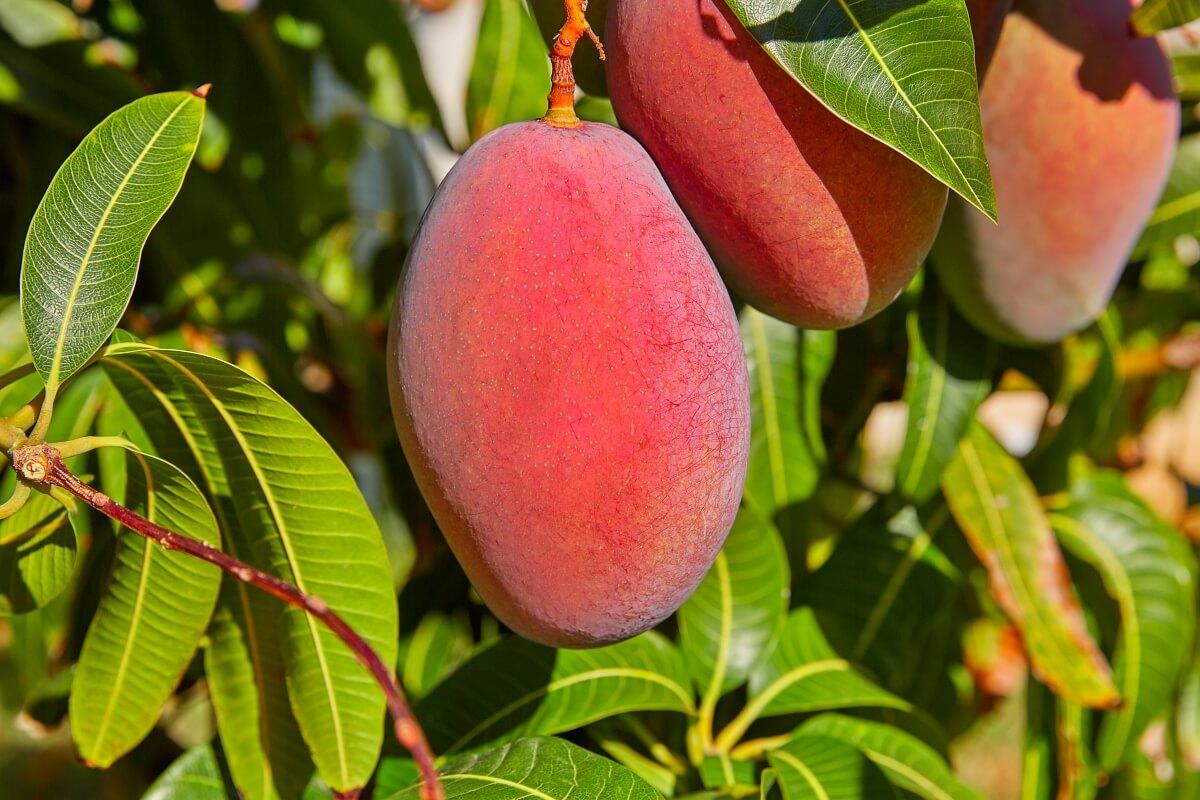 dojrzały owoc afrykańskiego mango występujący w naturze